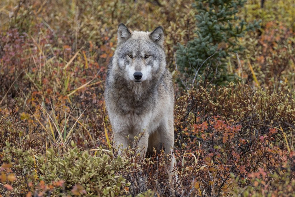 Wolf in the boreal forest. Susan Jenkins photo.