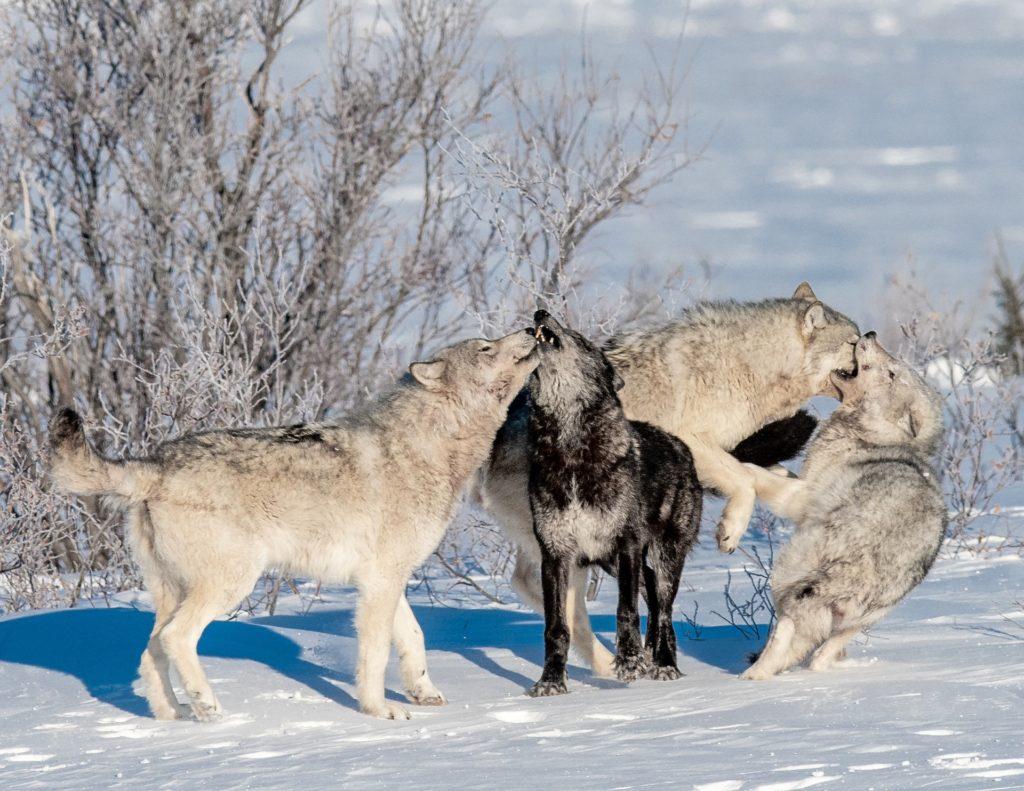 Wolf pack Nanuk Polar Bear Lodge. Jad Davenport photo.