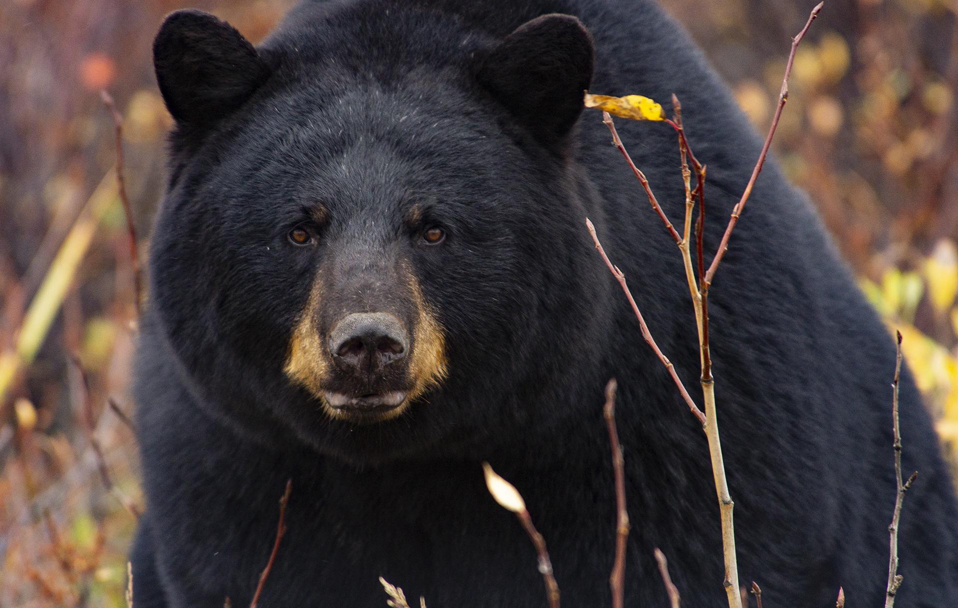 Black Bear. Cheryl Hnatiuk photo.